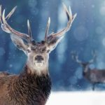 Proud Noble Deer male in winter snow forest. Winter christmas image - Snow Animals _ Season 1, Episode 1 - Photo Credit: Shutterstock/BBCA
